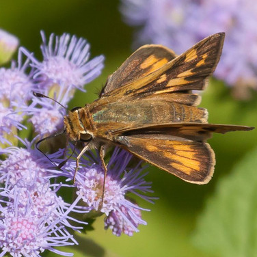 Fiery Skipper, top view