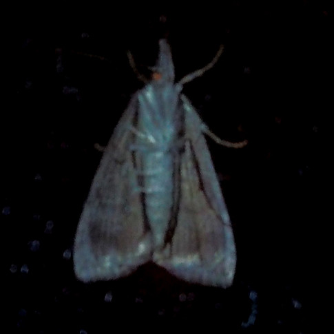 Moth on screens after dark
