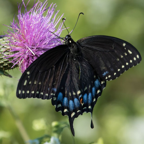 Black Swallowtail, female, top view
