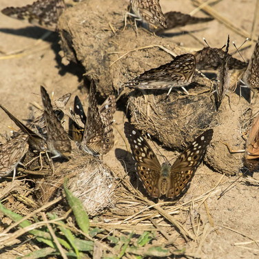 Hackberry butterflies on scat