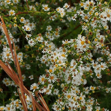 Heath asters