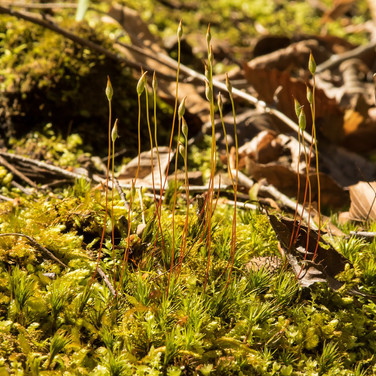 Sporulating moss