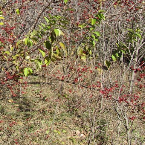 Red honeysuckle berries