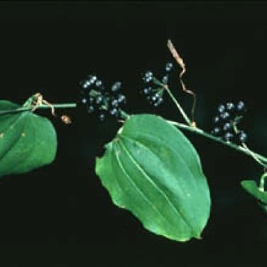 Green bristly greenbriar vine