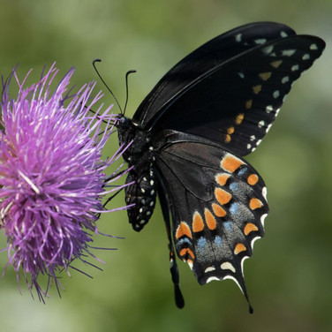 Black Swallowtail, female, bottom view