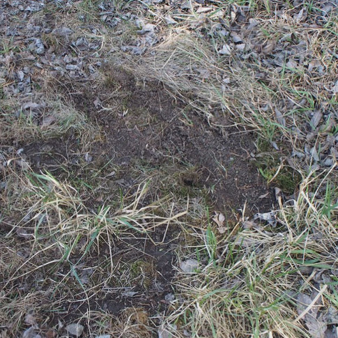 Bare ground from deer rutting