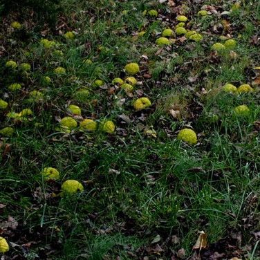 Hedge Apples on ground