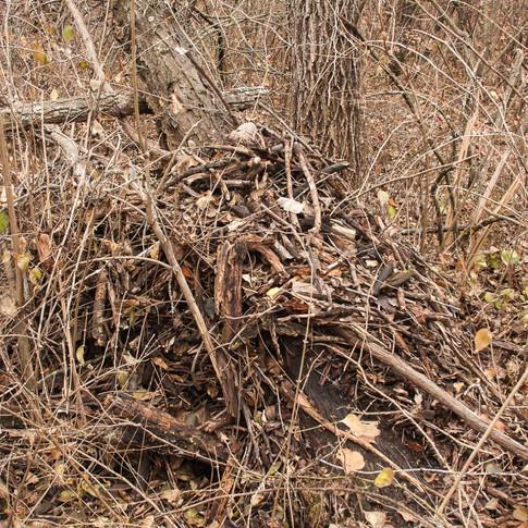 Packrat nest
