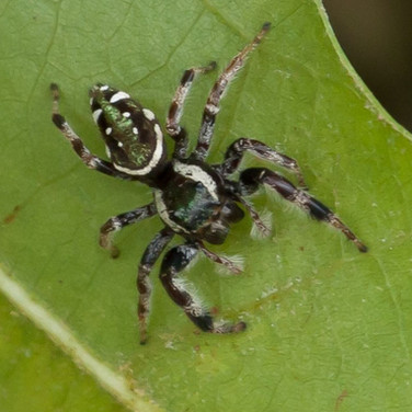 Emerald Jumping Spider
