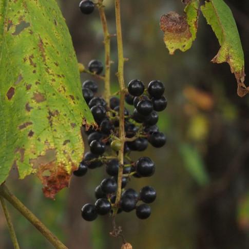 Riverbank grapes