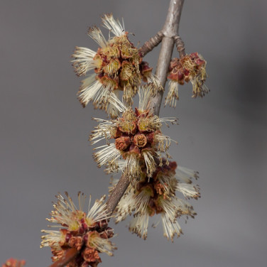 Maple seed blossoms