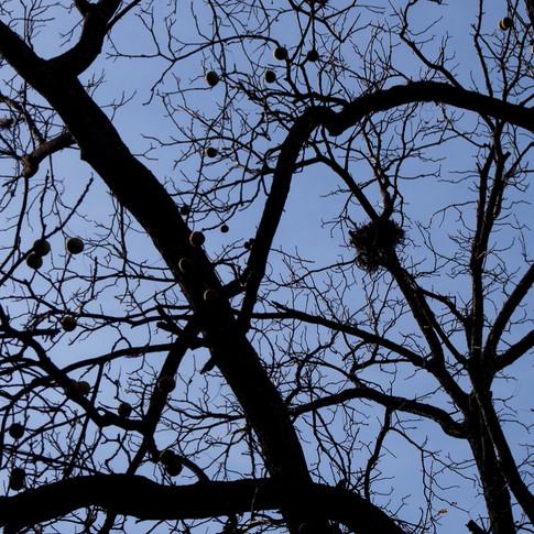 Walnuts in walnut tree