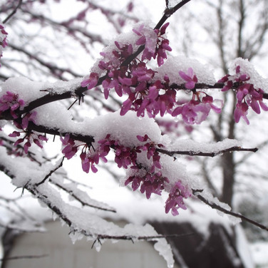Late snow on redbud blossoms