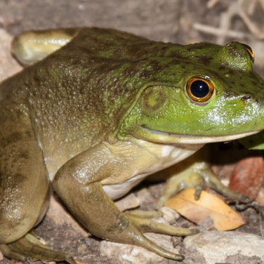 Bullfrog on rocks