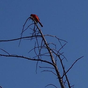 Cardinal in dead tree