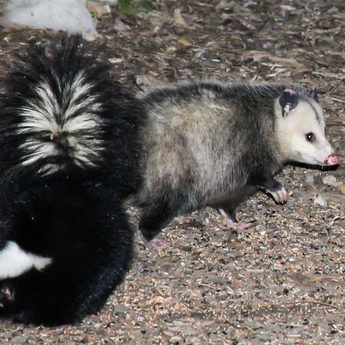 Skunk & Opossum