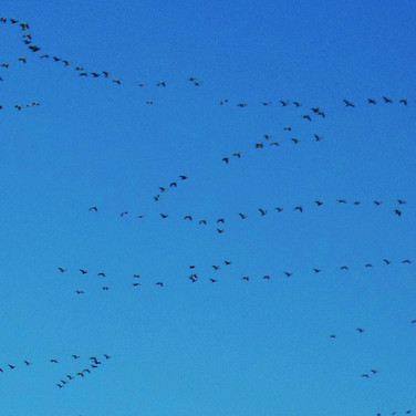 Geese, migrating