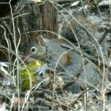 Squirrel eating hedge apple