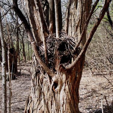 Packrat nest in hedge tree