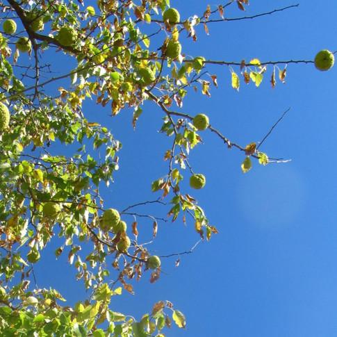 Hedge apples in tree (Osage Orange)