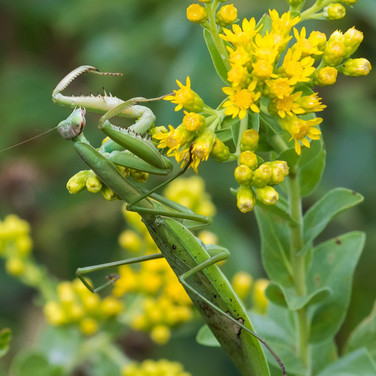 Stiff Goldenrod with Praying Mantis