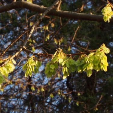 Elm seeds (samara)