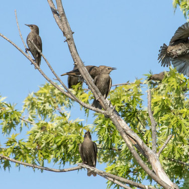 Immature Blackbirds