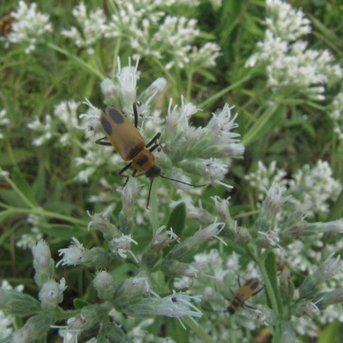 Boneset with beetles