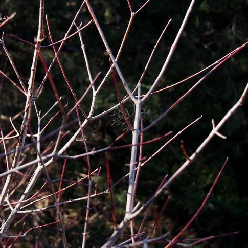 Reddening dogwood branches