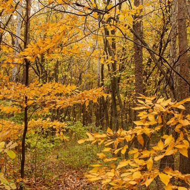 Woodland turning yellow
