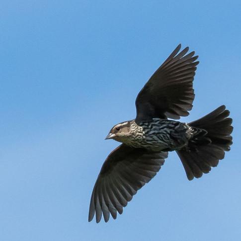 Immature Redwinged Blackbird