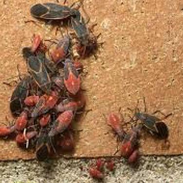 Boxelder beetles