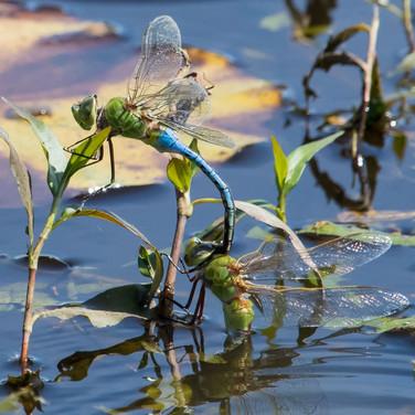 Common Green Darner Dragonflies