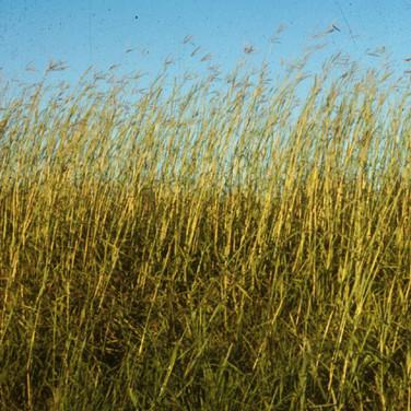 Big Bluestem Tallgrass seedheads