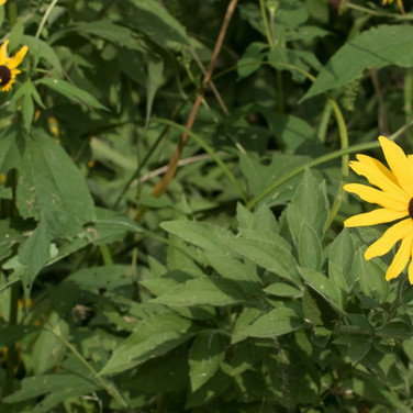 Sweet coneflower on right; Blackeyed Susan on left