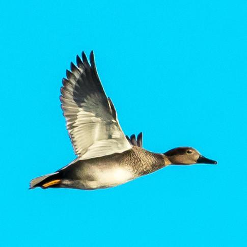 Flying gadwall