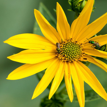 Sweat bees on perennial Sunflower