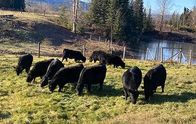 Heifer calves Fall 2020.jpg