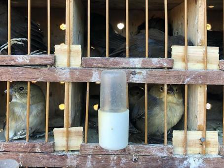 122 pássaros resgatados pela PRF