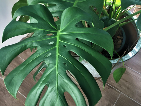 Monstera Deliciosa - Gatenplant