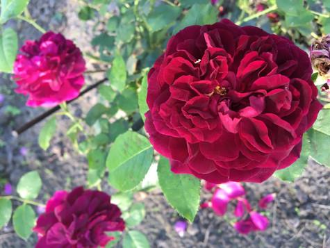 Liefde voor rozen