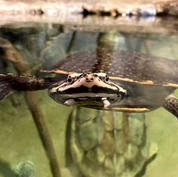 Geofreys-side-neck-turtle.jpg