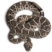 Prairie rattlesnake.jpg