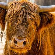 Highland-Cow.jpg
