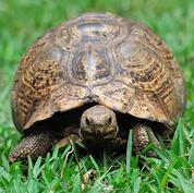 African spurred tortoise.jpg