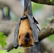 Rodrigues-flying-fox.jpg