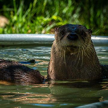 North-American-river-otter.jpg
