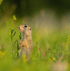 european-ground-squirrel-VF4BHZK-NEW.jpg