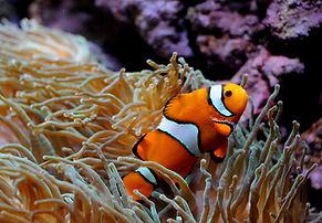 Clownfish 1