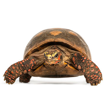 Red footed tortoise.jpg